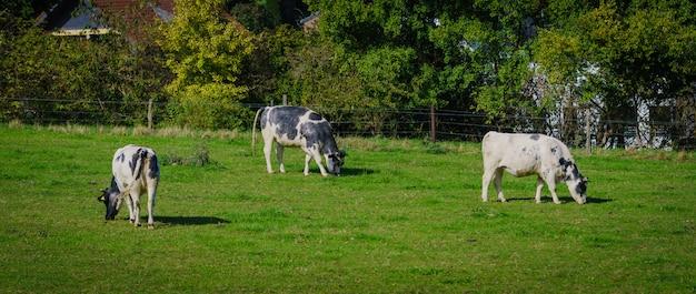 Gruppe von kühen im grünlandpanorama