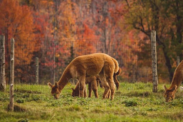 Gruppe von lamas, die das gras hinter einem zaun in einem feld grasen
