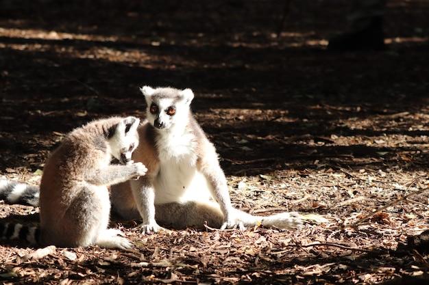 Gruppe von lemuren, die auf dem schlammigen boden mitten in einem wald sitzen