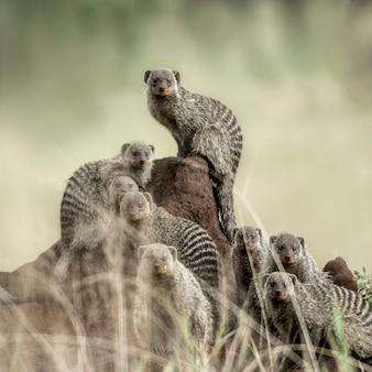 Gruppe von mangoosen, die die kamera im serengeti-nationalpark betrachten