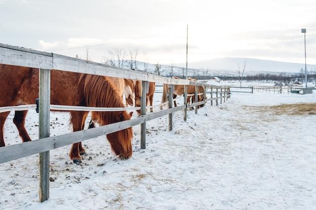Gruppe von niedlichen pferden, die auf der verschneiten landschaft in nordschweden hängen