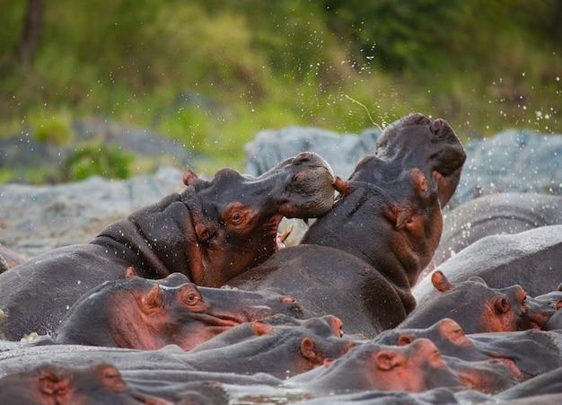 Gruppe von nilpferden sind im wasser