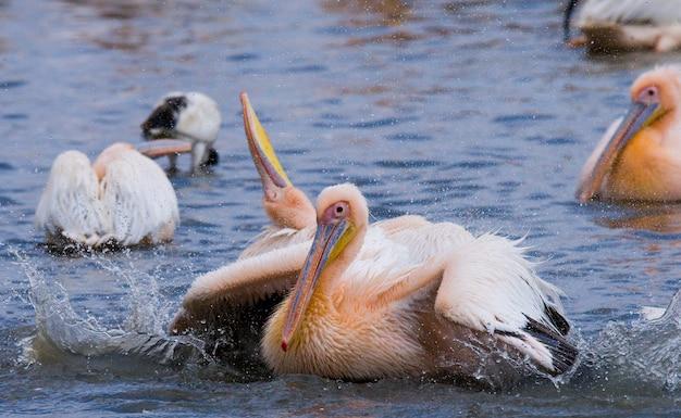 Gruppe von pelikanen auf dem see.
