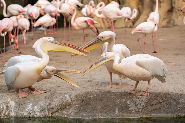 Gruppe von pelikanen, pelecanus onocrotalus, die mit flamingos unter sich streiten