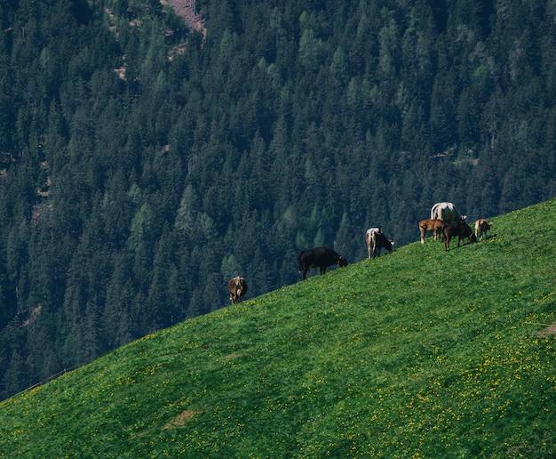 Gruppe von rindern, die auf einem üppigen grünen feld grasen