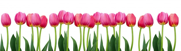 Gruppe von rosa tulpen mit blättern