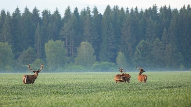 Gruppe von roten hirschen, die auf feld im morgennebel stehen