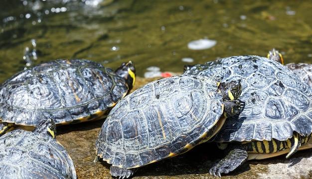 Gruppe von schildkröten, die in der nähe des wassers ruhen