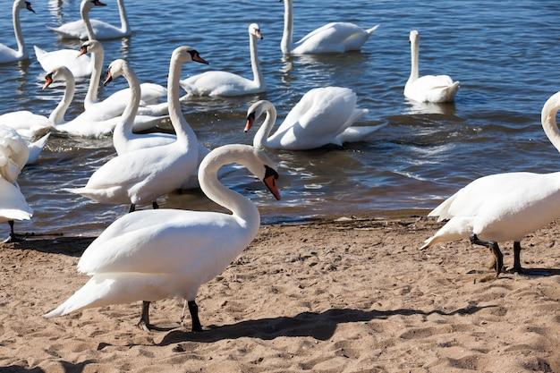 Gruppe von schwänen im frühjahr, schöne wasservogelgruppe schwanenvogel auf dem see im frühjahr, see oder fluss mit schwänen, die an land kamen, nahaufnahme