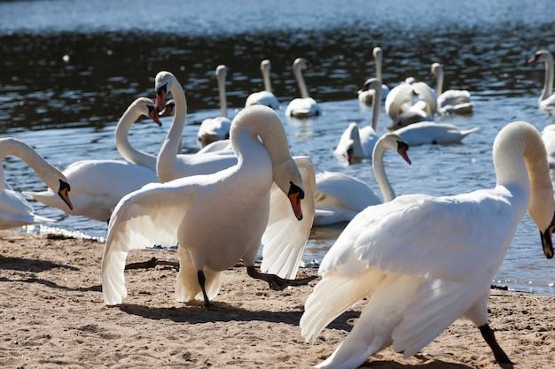 Gruppe von schwänen im frühjahr, schöne wasservogelgruppe schwanenvogel auf dem see im frühjahr, see oder fluss mit schwänen