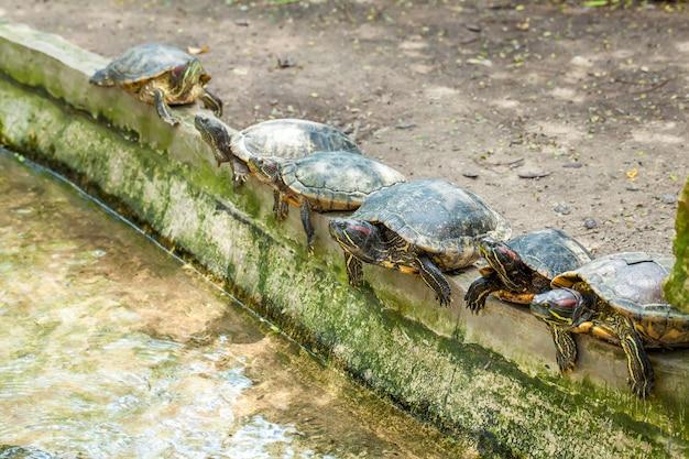 Gruppe von sechs rotohrschildkröten