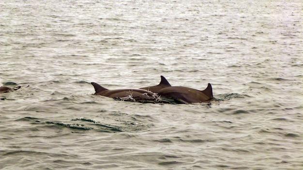 Gruppe von spinnerdelfinen auf den malediven.