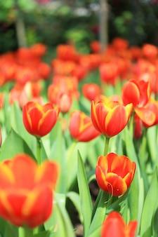 Gruppe von tulpen