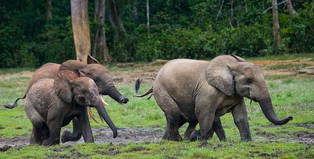 Gruppe von waldelefanten im waldrand. republik kongo. dzanga-sangha special reserve. zentralafrikanische republik.