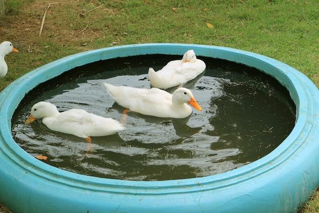 Gruppe von weißen pekin-enten, die sich in einem hinterhof-becken entspannen