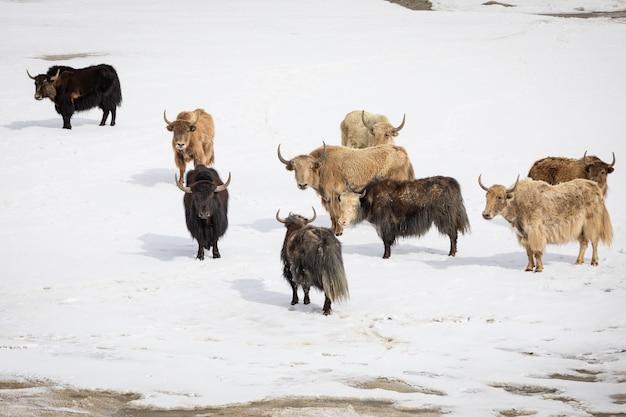 Gruppe von yaks auf verschneitem tal. foto in hoher qualität