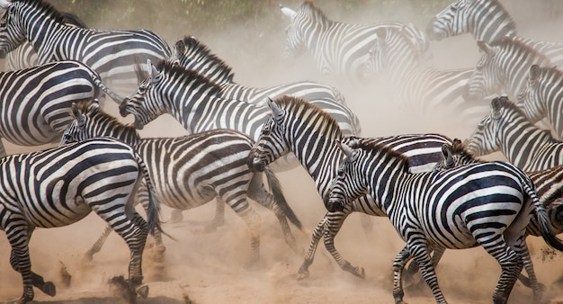 Gruppe von zebras, die im staub laufen. kenia. tansania. nationalpark. serengeti. maasai mara.
