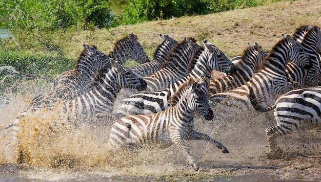 Gruppe von zebras, die über das wasser laufen. kenia. tansania. nationalpark. serengeti. maasai mara.