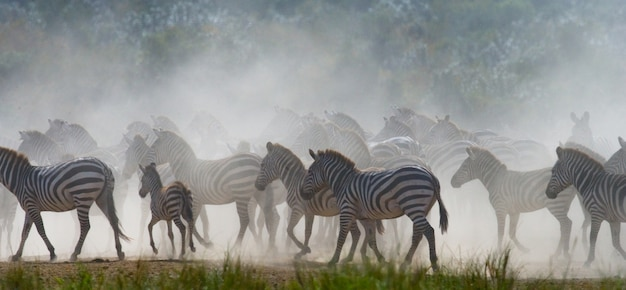 Gruppe von zebras im staub. kenia. tansania. nationalpark. serengeti. maasai mara.