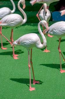 Gruppe weicher rosafarbener afrikanervogelflamingos, die auf grünem gras stehen