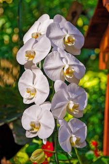 Gruppe weiße orchidee