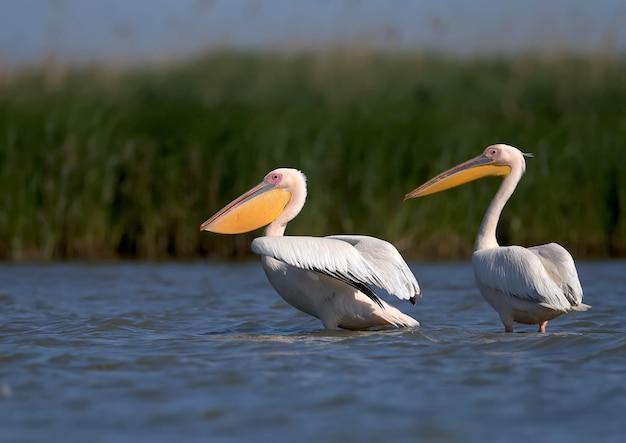 Gruppen von weißen pelikanen, die im wasser stehen