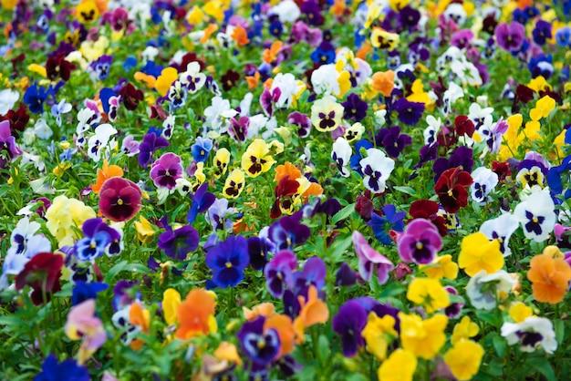 Gruppenviolette mehrjährige mehrfarbige, purpurrote, rosa, weiße und gelbe viola wachsen auf großem feld. bekannt als gehörntes stiefmütterchen oder gehörntes veilchen