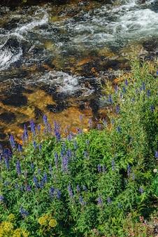 Gruppieren sie schöne purpurrote blumen des rittersporns nahe gebirgsbachnahaufnahme. reiche vegetation des hochlands. blühende blaue blumen an des quellwasserstroms unter im hellen sonnenlicht.