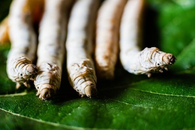 Gruppieren sie seidenraupenköpfe, bombyx mori, die mit ihren scharfen zähnen maulbeerblätter essen.
