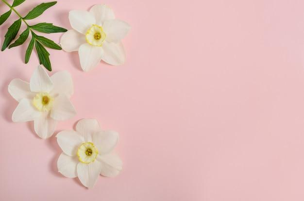 Grußkartenhintergrund, zarte blumennarzissen auf rosa hintergrund mit kopienraum