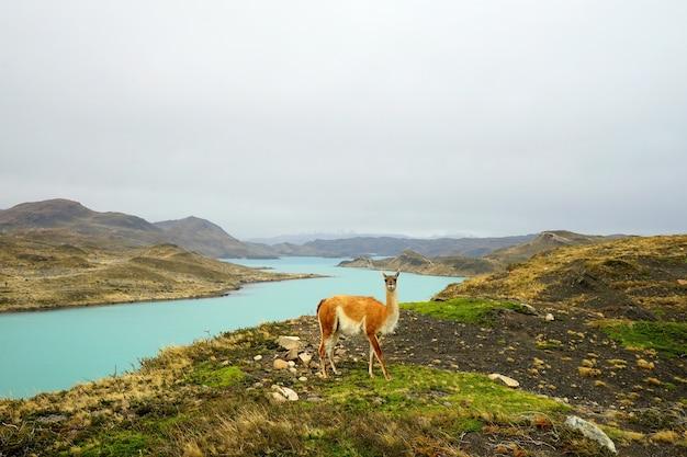Guanaco in patagonien.