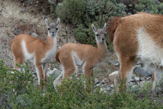 Guanacos (lama guanicoe) auf dem gebiet, nationalpark torres del paine, patagonia, chile