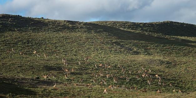 Guanacos (lama guanicoe) weiden auf einem feld, nationalpark torres del paine, patagonien, chile