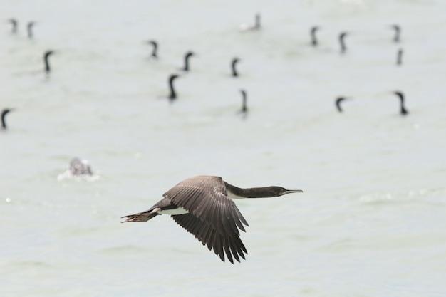 Guanay-kormoran, der über ozean fliegt