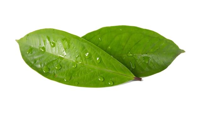 Guavenblatt isoliert auf weißem hintergrund