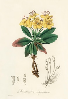 Gummi-benjamin-baum (rhododendron chrysanthum) abbildung aus der medizinischen botanik (1836)
