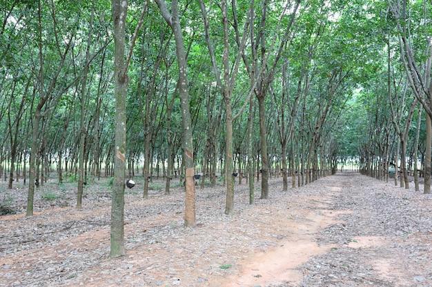 Gummibaum der plantage.