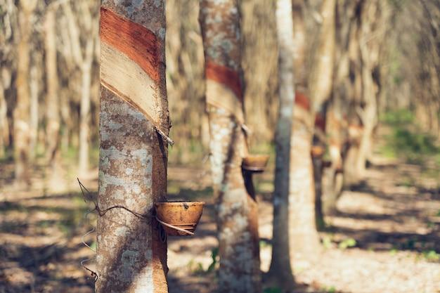 Gummibaum (hevea brasiliensis) produziert latex. mit dem messer an der außenseite schneiden