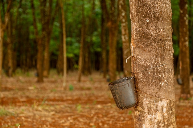 Gummibaum kultivieren