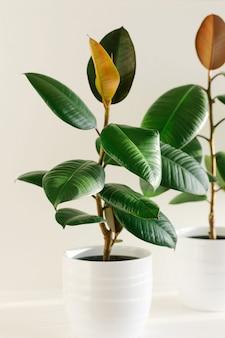 Gummibaum mit zwei elastischen pflanzen des ficus in den weißen keramischen blumentöpfen.