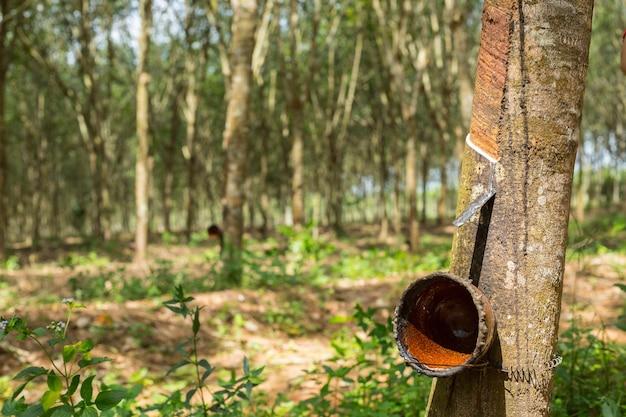 Gummibaumpflanze im süden von thailand.