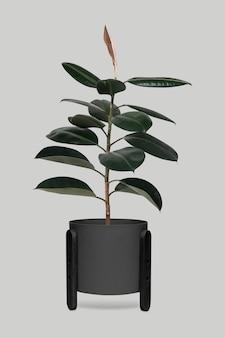 Gummipflanze im schwarzen topf