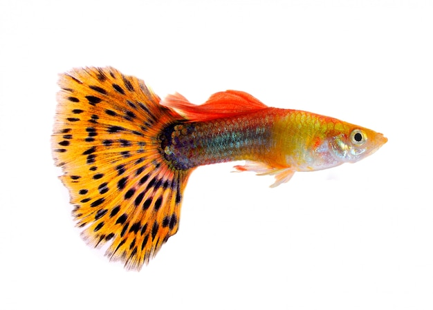 Guppy fisch lokalisiert auf weißem hintergrund