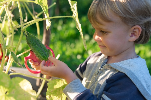 Gurke in den händen eines kleinen jungen, der mit einer schere erntet