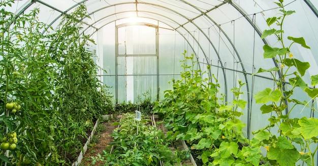 Gurken und tomaten wachsen in einem modernen polycarbonat-gewächshaus-sonnenbogen, sonnenlicht durch transparente wände, das konzept des anbaus von pflanzen auf geschlossenem boden