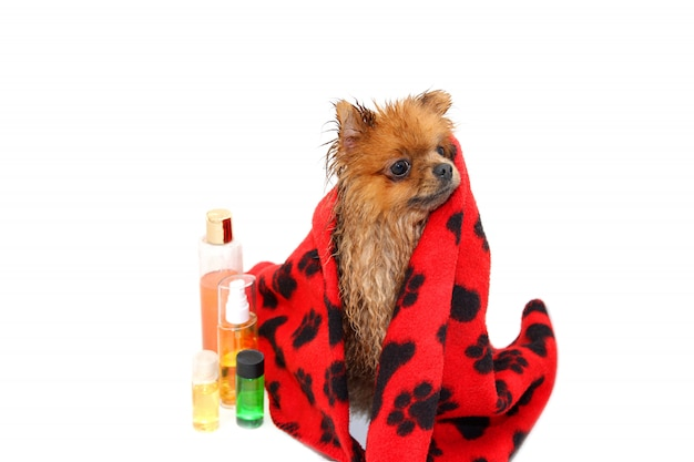 Gut gepflegter hund. ein pommerscher hund, der eine dusche nimmt. hund im bad. hundepflege