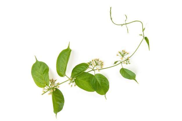 Gymnema inodorum zweig grüne blätter und blumen isoliert auf weißem hintergrund. draufsicht, flache lage