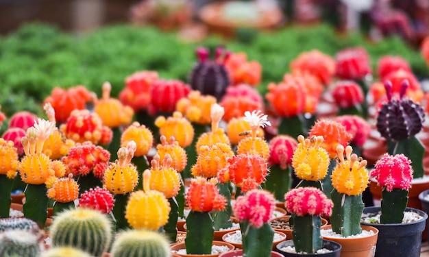 Gymnocalyciumkaktus / bunter roter und gelber blumenkaktus schön im topf gepflanzt