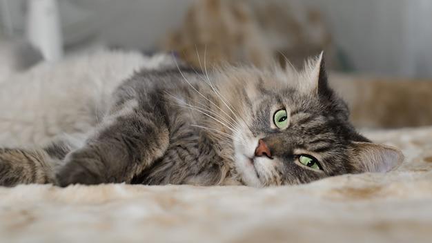 Haarige graue grünäugige katze, die drinnen auf dem sofa liegt. müde pelzige katze der sibirischen rasse ruht sich aus und schaut in die kamera