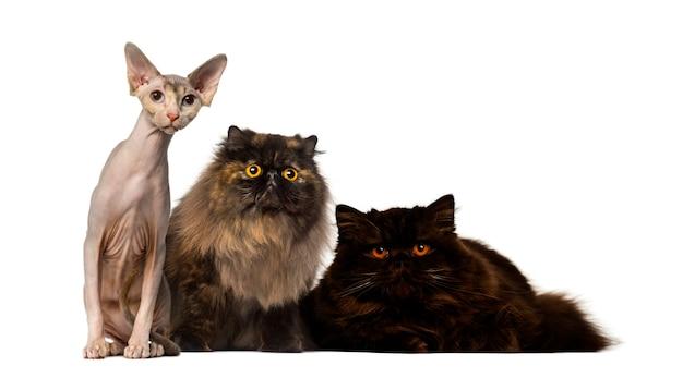 Haarlose und pelzige katzen starren